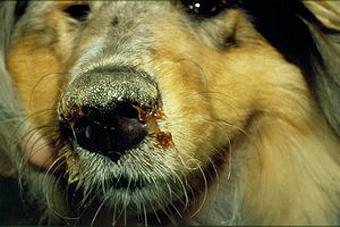Un perro afectado por el virus distemper.