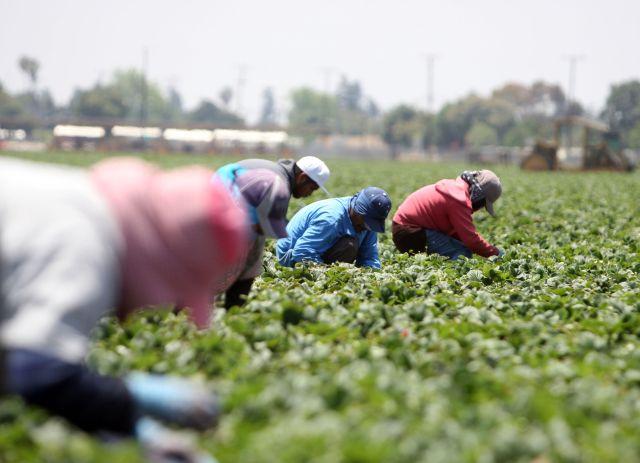 Trabajadores recogiendo fresas en Oxnard, California. J. Emilio Flores / La Opinion