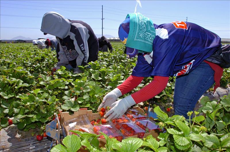"""Recolectores de fresas de """"Well-Pick Farms"""" en Oxnard, California, en plena faena en uno de los campos de esa empresa."""