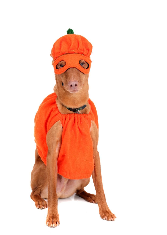 La mayoría de las mascotas estarán disfrazadas de calabaza en la festividad de este 2015.