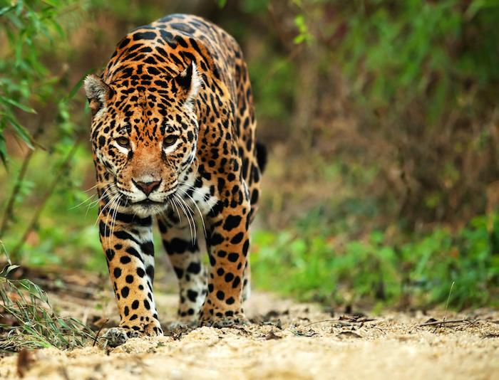 La existencia del jaguar es fundamental para mantener el equilibrio ambiental.