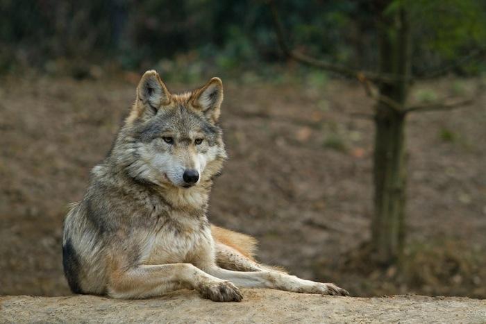 El lobo mexicano, un caso especial en la lucha de conservación de especies.