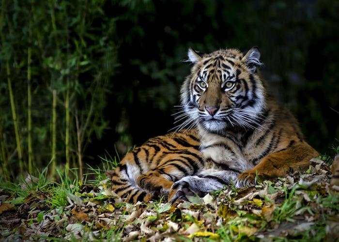 tigresumatra