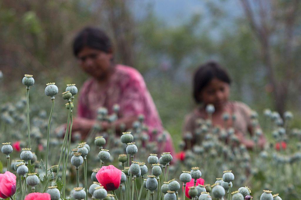 Mujeres trabajan en un campo de amapolas en el estado de Guerrero, México.