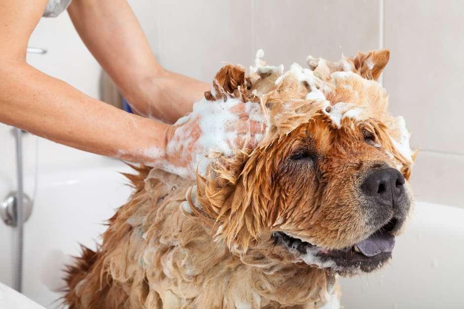 La frecuencia con que se baña una mascota la determina su raza, alimentación y estilo de vida.