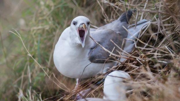 Polluelo del fulmar