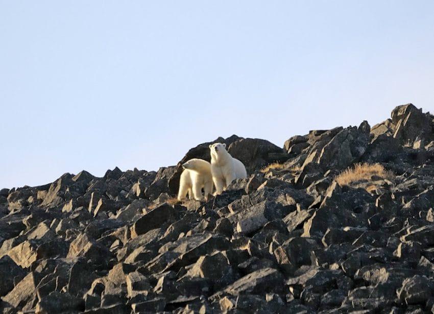Osos polares rodean en una aldea del norte de Rusia, algunos de sus residentes se sienten amenazados
